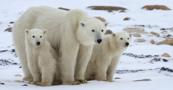 Polar Bears! You guys are going to be OK . . .
